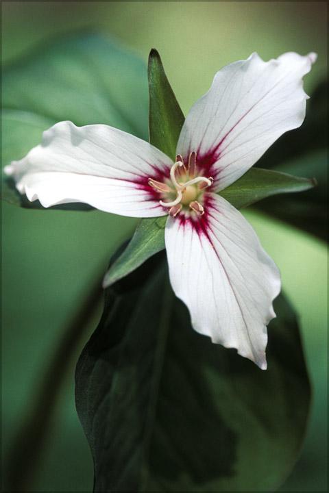 p.trillium 1