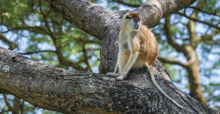 Palas Monkey
