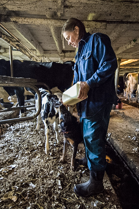T feeding calves