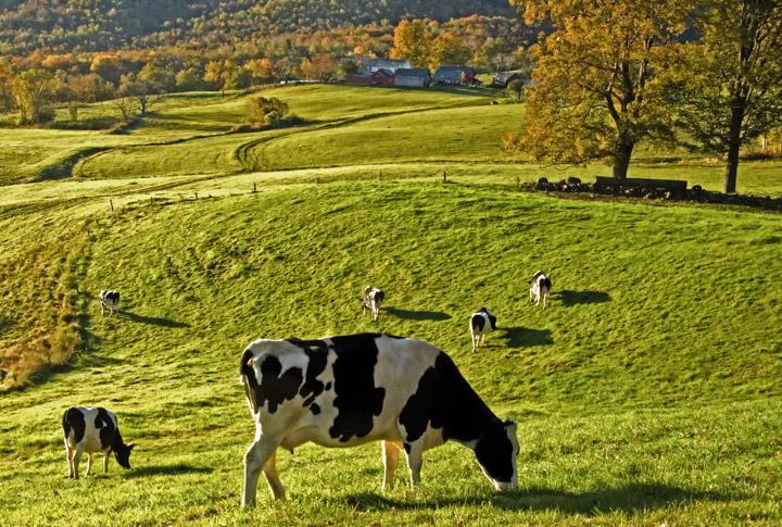 backlit cow scene