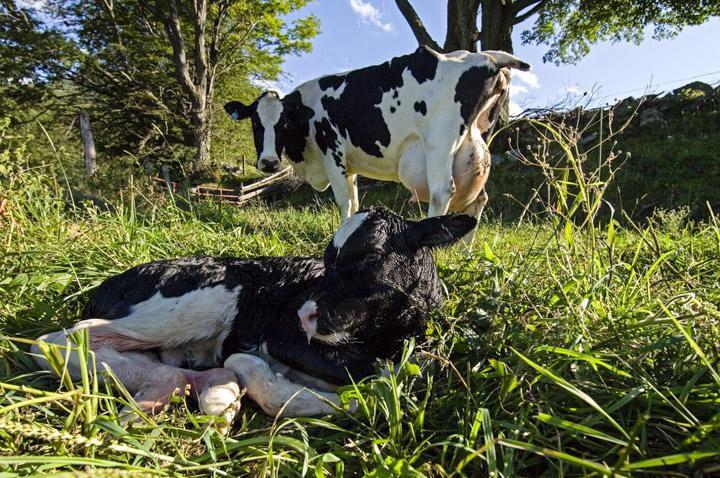 brand new calf