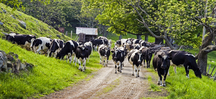 cows returning