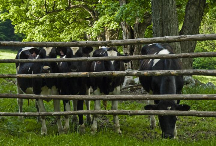 heifers thru fence