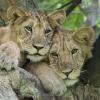 Juvenile Lions in Ishasha
