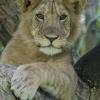 Juvenile Lion in Ishasha