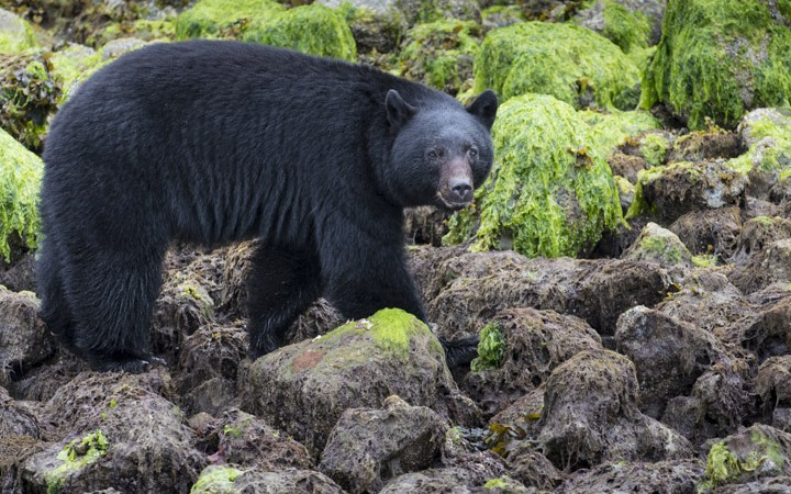 Black Bears of Tofino, BC