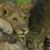 Handholding Lions