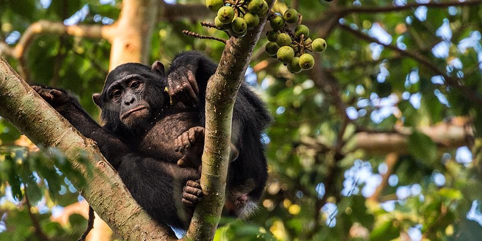 Wildlife - Chimpanzee
