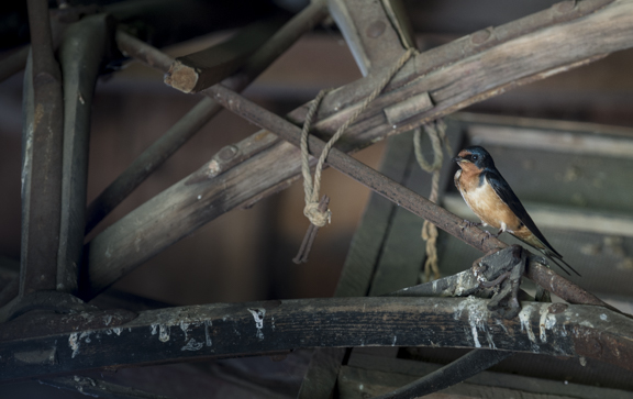 Horse Barn Swallow