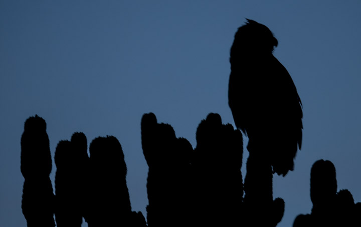 Eagle Owl at twilight