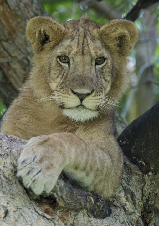Juvenile Lion in Ishasha
