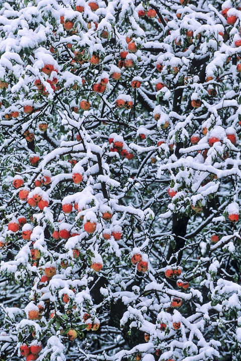 snowyapples