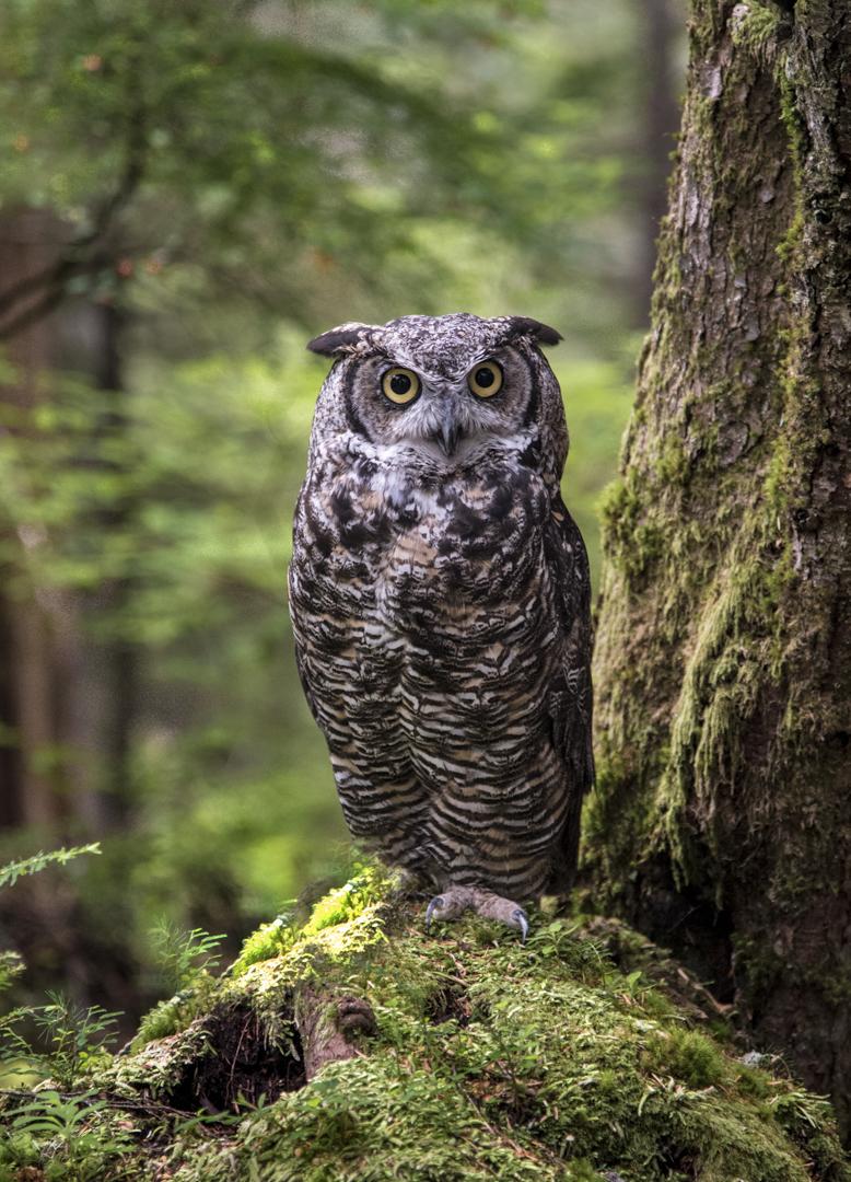 bard owl 1-1