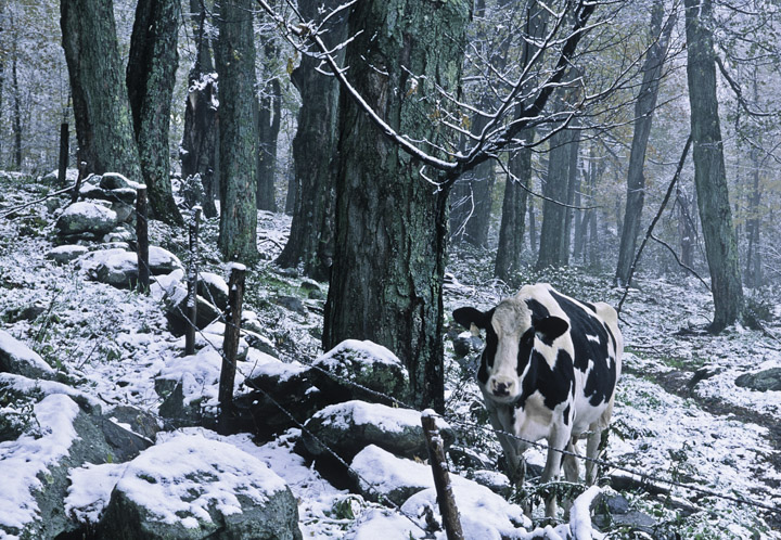 1 cow in snow
