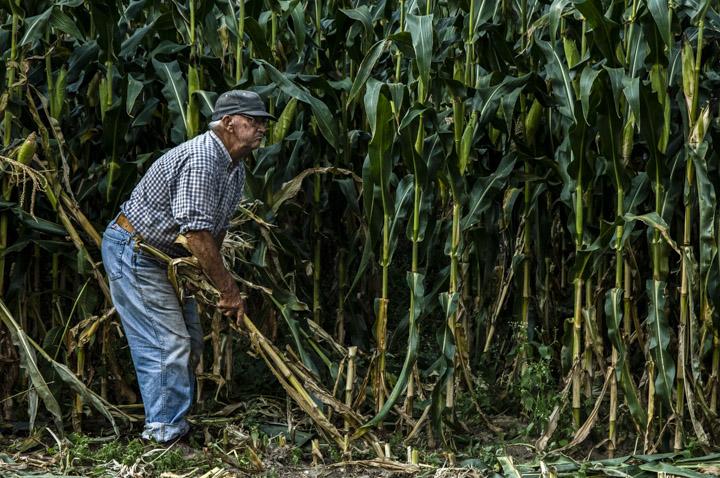 hugh picking corn