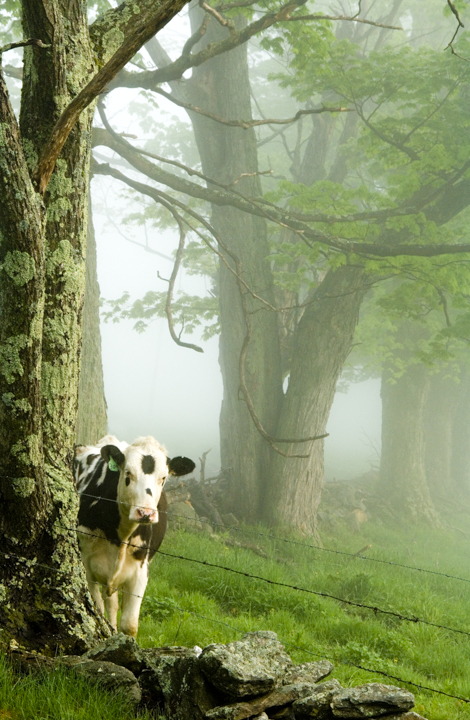 spring camo cow