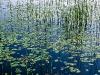 lefferts-lilies