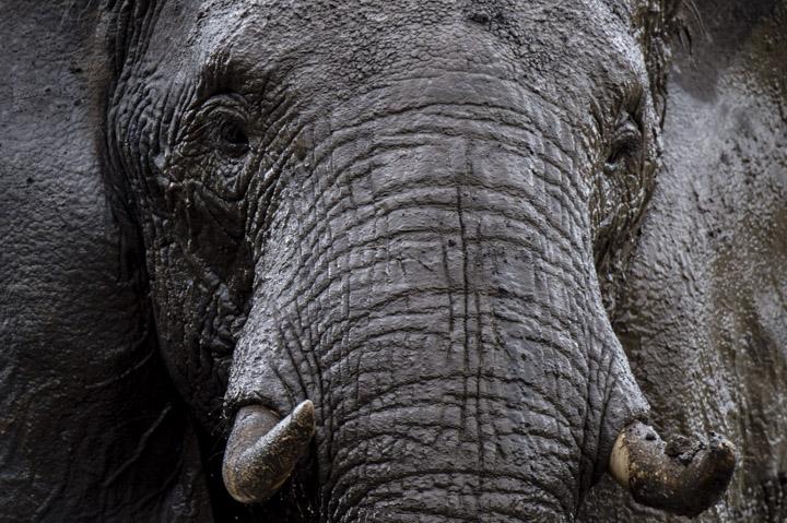 Bull elephant after mud bath