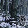 1-cow-in-snow