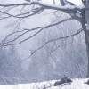 winter-maple-2