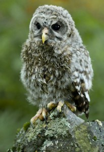 barred-owlet
