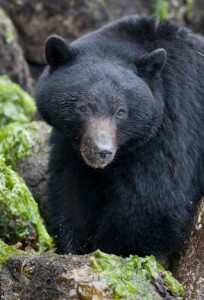 tofino-bear1