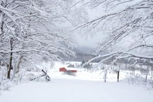 snowy-heifer-barn
