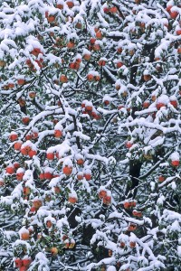 snowyapples