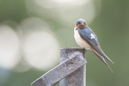 Processing Example-Barn Swallow
