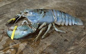 Blue Lobster!