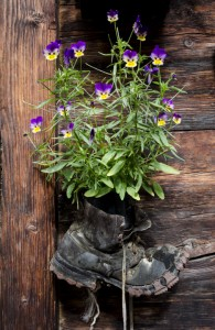 Old Boot and Violets