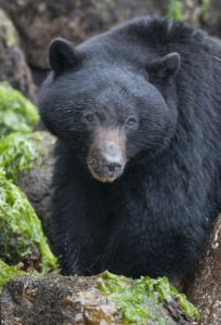 Vancouver Is. black bear head