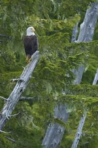 Bald Eagle on snag