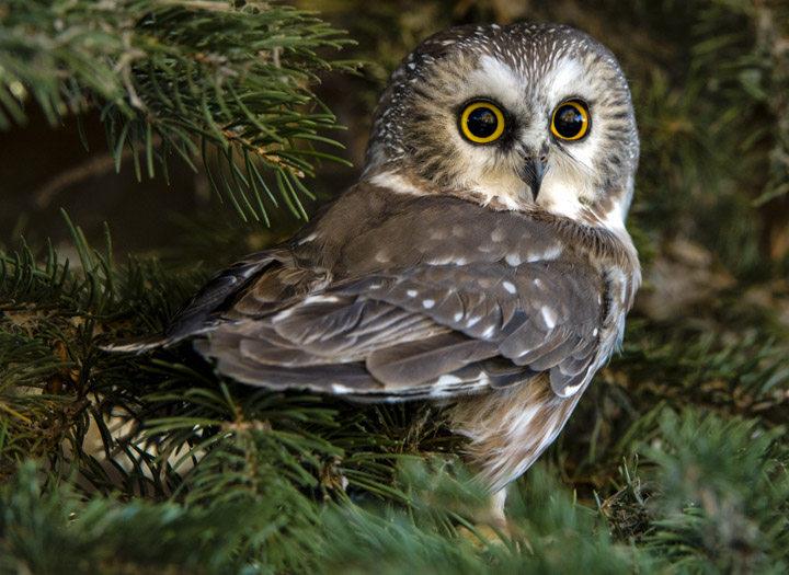 sawhet owl