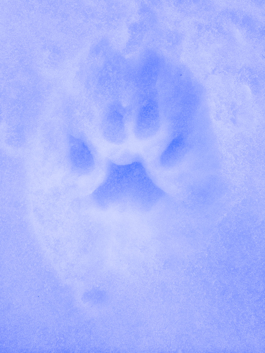 Mountain Lion print