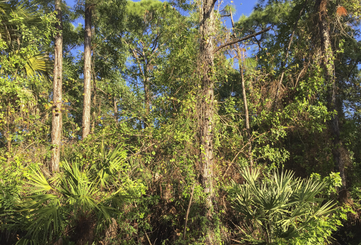 Pine woodland over run by exotic species